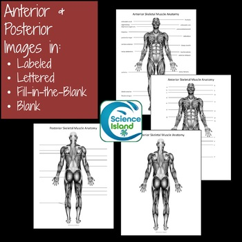 Muscular    System    Diagrams     Study  Label  Quiz   Color by Science Island