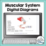 Muscular System Diagrams for Distance Learning