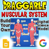 Muscular System - Digital Draggable Science Model