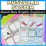 Muscular System Sketch Notes Graphic Organizer Review Activity for Muscles
