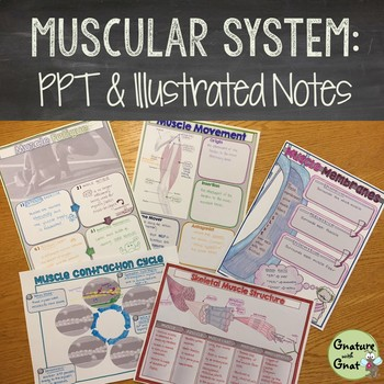 Muscular System- Editable PowerPoint & Doodle Notes