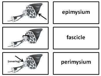Muscular System Flashcards