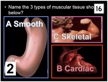 Muscular System Game, Muscles of the Body PowerPoint Quiz
