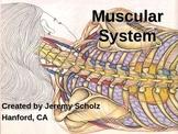 Muscular System - Human Anatomy