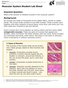Muscular System Inquiry Labs