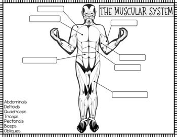 Muscular System Investigation