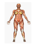 Muscular System Labeling