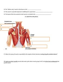 Muscular System Quiz, trunk, anterior/posterior muscles of torso