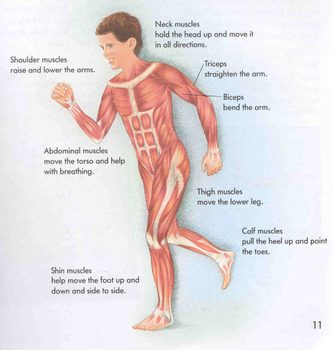 Muscular System Smartboard Presentation