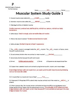 Muscular System Study Guide Bundled Set (All Three in my Series)