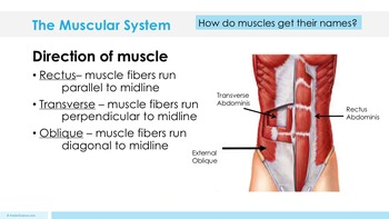 Muscular System - Supplemental Lesson - No Lab