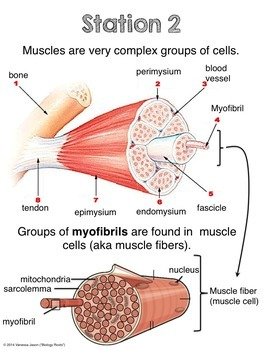 Muscular system exhibition stations by biology roots tpt muscular system exhibition stations ccuart Choice Image