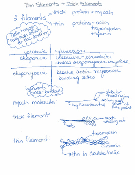 Muscular System Teaching and Study Notes