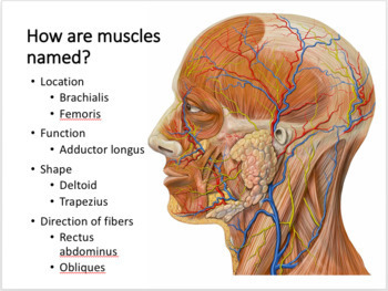 Muscular System Unit Notes