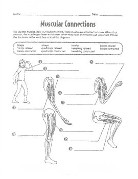 Muscular System Unit work