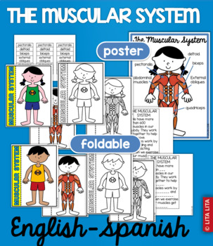 Muscular System fold and learn