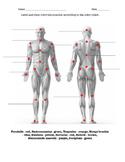 Muscular System w/key