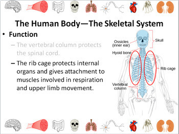 Human Body: Muscular and Skeletal Systems Powerpoint Slide Show