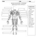 Muscular system - Anterior