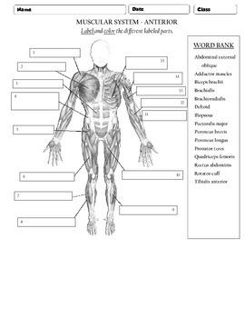 Muscular system - Anterior