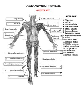 Muscular system - Posterior