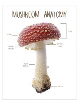 "Mushroom Anatomy 8x10"" Poster- Montessori- Parts of a Mushroom"