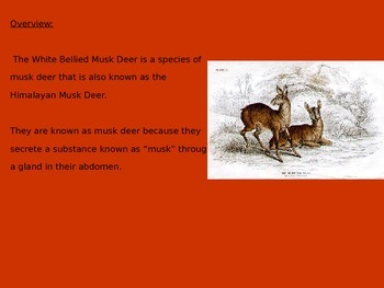 Musk Deer - Power Point - Information Facts Pictures