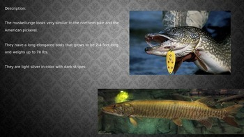 Muskellunge - Musky - Fish Power Point Information Facts Pictures