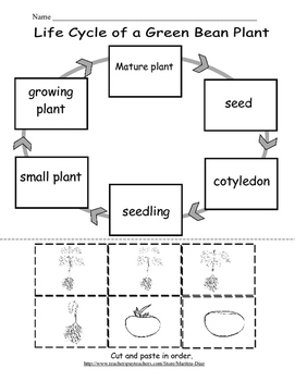 Life Cycle Of A Green Bean Plant And Observation Log 1203563 on Coloring Pages Of Plant Life Cycle