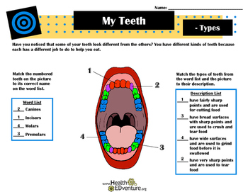 Learning about Types of Teeth