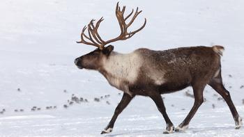 NGSS Engineering a Reindeer