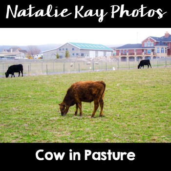 NK Photos - Cow in Pasture