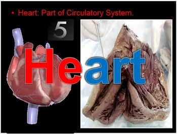 Name that Organ of the Human Body Quiz PowerPoint