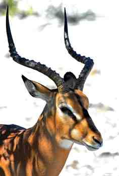 Namibian Oryx Photograph