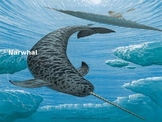 Narwhal - Power Point - Information Facts Pictures Review