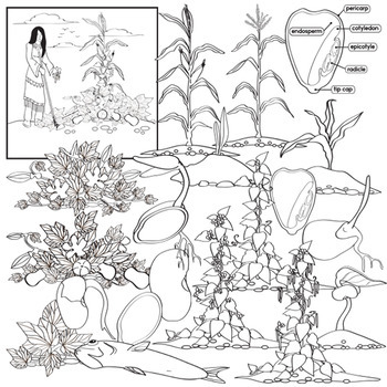 Native American Agriculture - Corn , Beans and Squash Life Cycle Clip Art
