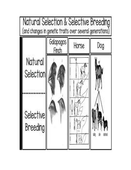 Natural Selection and Selective Breeding