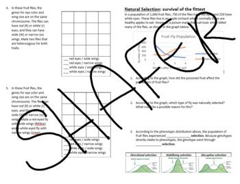 Natural Selection in Flies (& Transcription - Translation - Punnet squares)