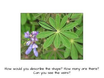 Nature Illustration for Kids: The Karner Blue Butterfly & Purple Lupine