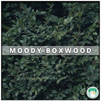 Nature Stock Photo Moody Boxwood