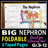 Nephron Foldable - Big Foldable for Interactive Notebooks or Binders