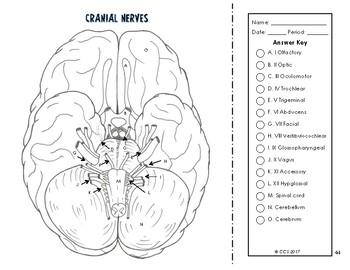 Nervous & Endocrine System Coloring
