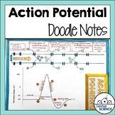 Nervous System: Action Potential Graph Illustrated Notes
