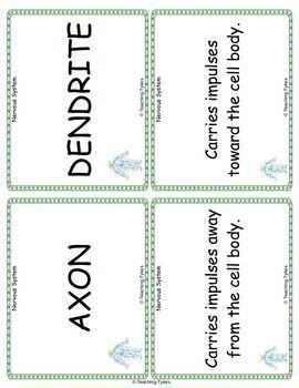 Nervous System Vocabulary Cards