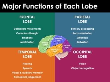 Nervous System - Neurons, Nerve Impulses, Synapses, CNS, PNS, Brain