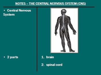 Nervous System Notes The Brain Powerpoint Presentation