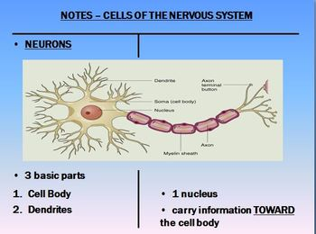 Nervous System Notes Neurons Powerpoint Presentation