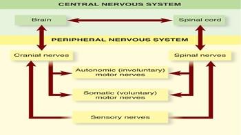 Nervous System Presentation & Activites