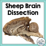 Nervous System Activity - Sheep Brain Dissection