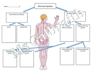 66 Pretty Stocks Of Anatomy Of the Digestive System Worksheet as well Nervous System Concept Map Answers Nervous System Concept Map in addition Nervous System Worksheet Answers Cool Nervous System Worksheet in addition Nervous System Worksheet by MsGalith   Teachers Pay Teachers likewise Nervous system worksheet answer key  86082 as well Nervous System Worksheet   Jackson County Faculty Sites in addition Chapter 7 the Nervous System Worksheet Answers Luxury Nervous System together with  besides 42 Super Section 36 2 the Nervous System Worksheet Answers   nervous also Nervous System Coloring Worksheet Answers   Coloring Pages besides Nervous System Worksheets Middle Worksheets for all as well Jesseca S Anatomy Blog Basic Nervous System Worksheet   wiring besides Anatomy And Physiology Coloring Workbook Answers Pg 52 Nervous also Nervous System Worksheet   Homedressage additionally Nervous System Worksheet   Mychaume as well Lab Worksheet 8 Health Sciences 1110 Module 8 Nervous System. on the nervous system worksheet answers